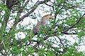 A leopard on the tree in the Serengeti Plain.JPG
