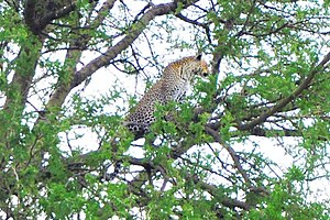 Leopard - A leopard and her cub on the tree in the Serengeti savanna.