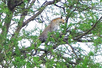 Leopard - A female and her cub on the tree in the Serengeti savanna