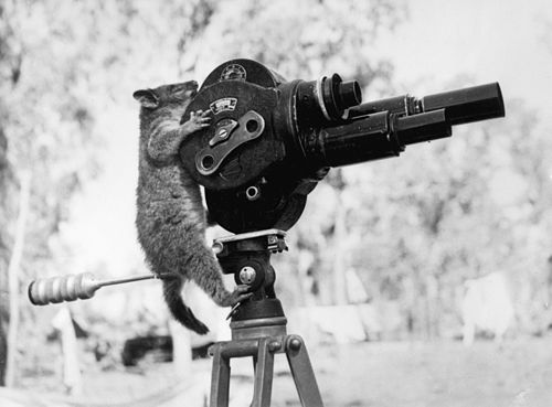 A possum and a movie camera 1943.jpg