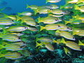 A school of blue-striped snappers at Manta Alley.JPG