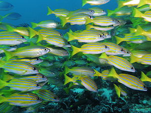 Bluestripe snapper - A school of bluestripe snapper at Komodo, Indonesia