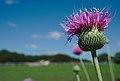A thistle in bloom.jpg