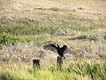 A turkey vulture stretches its wings in Fallon County, Montana, August 2012. (24215923937).jpg