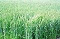 A wheat field at Rashtrapati Bhawan in New Delhi on March 14, 2005.jpg