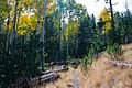 Abineau Trail is a steep 1,800 foot climb over two miles up the slopes of the San Francisco Peaks through Abineau Canyon. The trail meets the Waterline Trail at the top, which can be followed down to (21871190428).jpg