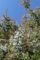 Acacia dealbata kz02.jpg