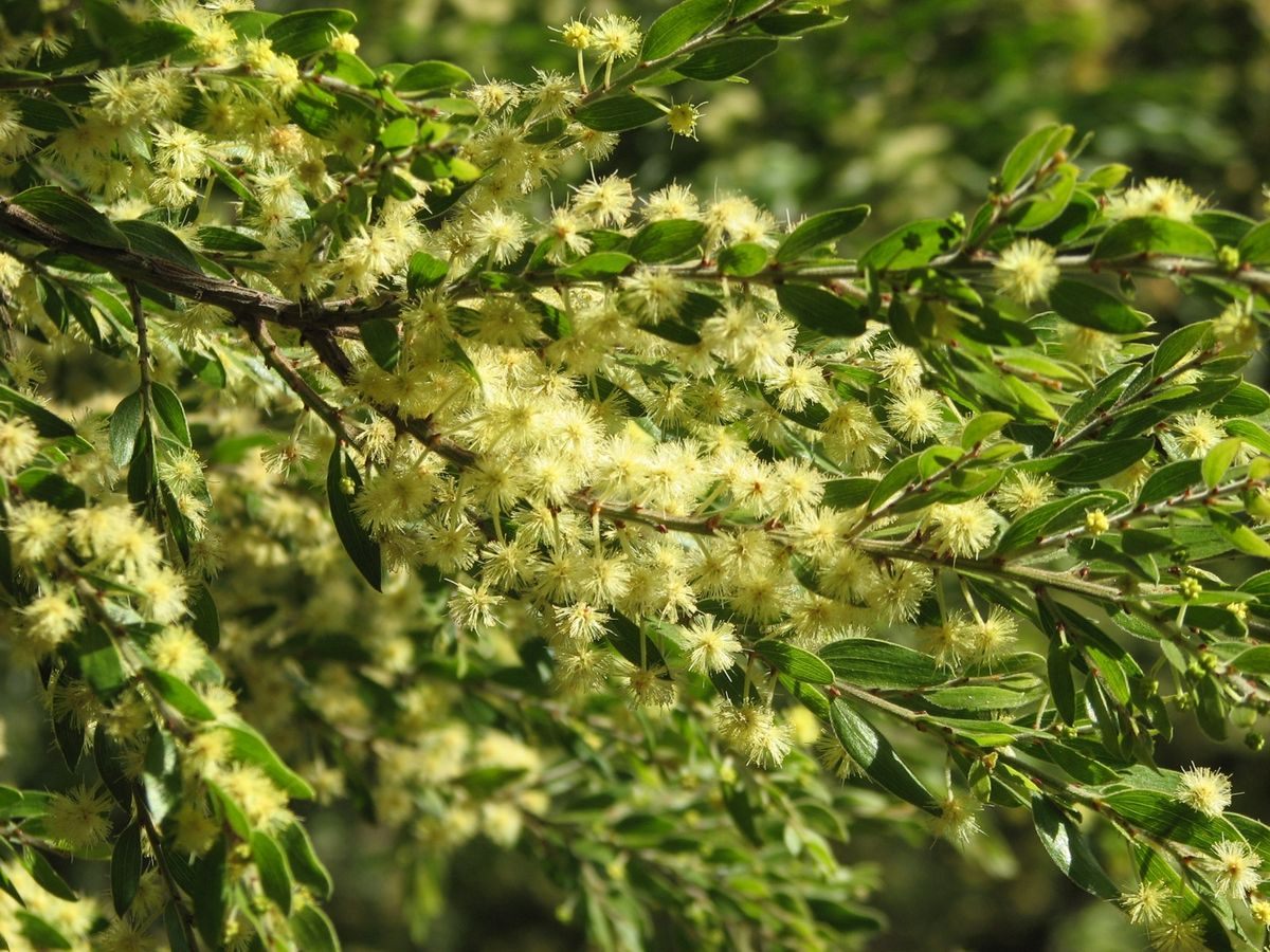 Acacia Howittii Vikipediya