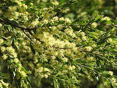 Acacia howittii.jpg