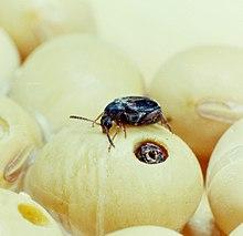 Lijst van bladhaantjes in Nederland - Wikipedia