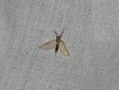 Acentria ephemerella (36640990491).jpg