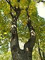 Acer obtusatum (45).JPG