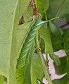 Acherontia styx (Thailand, Nonthaburi, Bang Bua Thong, Soi Mu Ban Bua Thong 1, 21,24.xii .2014) (D. Kruger) L4 2.jpg