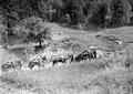 Acht Pferde ziehen eine schwere 15cm Haubitze - CH-BAR - 3239683.tif