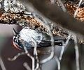 Acorn Woodpecker (34022001355).jpg