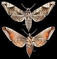 Acosmeryx naga hissarica MHNT CUT 2010 0 414 Afghanistan, female.jpg