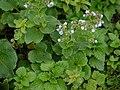 Adelocaryum malabaricum (C.B.Clarke) Brand (6025835011).jpg