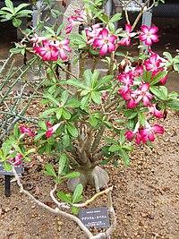 Adenium obesum (Kyoto Botanical Garden).JPG