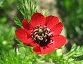 Adonis aestivalis inflorescence (38).jpg
