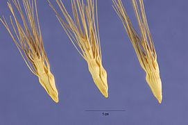 Aegilops geniculata seeds.jpg