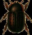 Aesalus scarabaeoides-m- Jacobson.png
