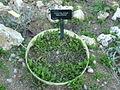 Aetheorhiza bulbosa FE 6090.JPG