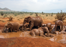 African Bush Elephant mud bath