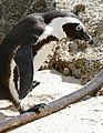African Penguin (Spheniscus demersus) walking on Kelp stem ... (32088700114).jpg