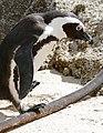 African Penguin (Spheniscus demersus) walking on Kelp stem ... (32088700114).jpg