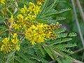 African Wattle (Peltophorum africanum) (11435365596).jpg