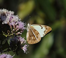 African veined white 2017 07 02 0194.jpg