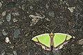 Agathia laetata (27489317516).jpg