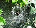 Agelenidae labyrinthica.JPG