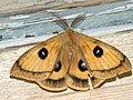 Aglia tau ♂ - Tau Emperor (male) - Павлиноглазка рыжая (самец) (40518925994).jpg