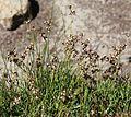 Alaska rush Juncus mertensianus swarm flowering.jpg