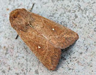 <i>Mythimna albipuncta</i> Species of moth