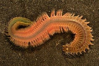 <i>Alitta succinea</i> Common clam worm