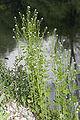 Alliaria petiolata marais-belloy-sur-somme 80 26042007 3.jpg