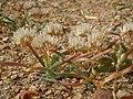 Allium anceps (23222208430).jpg