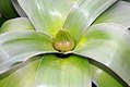 Allium giganteum Globemaster 0zz.jpg