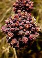Allium melananthum49.jpg