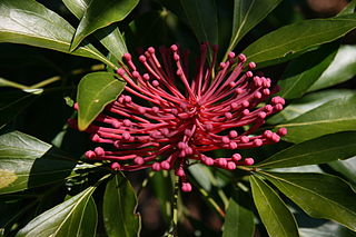 <i>Alloxylon pinnatum</i> A tree of the family Proteaceae found in south-east Queensland and northern New South Wales