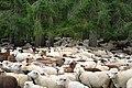 Almabtrieb der Schafe 2014 in Schoppernau 05.JPG