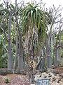 Aloe dichotoma - Parc Exotica.JPG