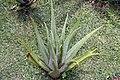 Aloe vera 17zz.jpg