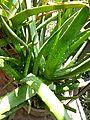 Aloe vera in bd 01.jpg