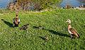 Alopochen aegyptiaca - Egyptian geese family - Nilgans-Familie - Frankfurt Main Sindlingen - 04.jpg