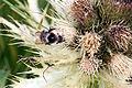 Alpen-Kratzdistel (Cirsium spinosissimum), Standort Nebelhorngipfel, 2224m IMG 7079.JPG