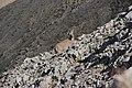 Alpine ibex - Capra ibex (20514366726).jpg
