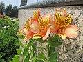 Alstroemeria flower in Namchi.jpg